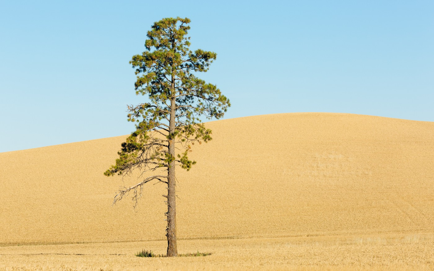 A tree standing alone in a yellow field