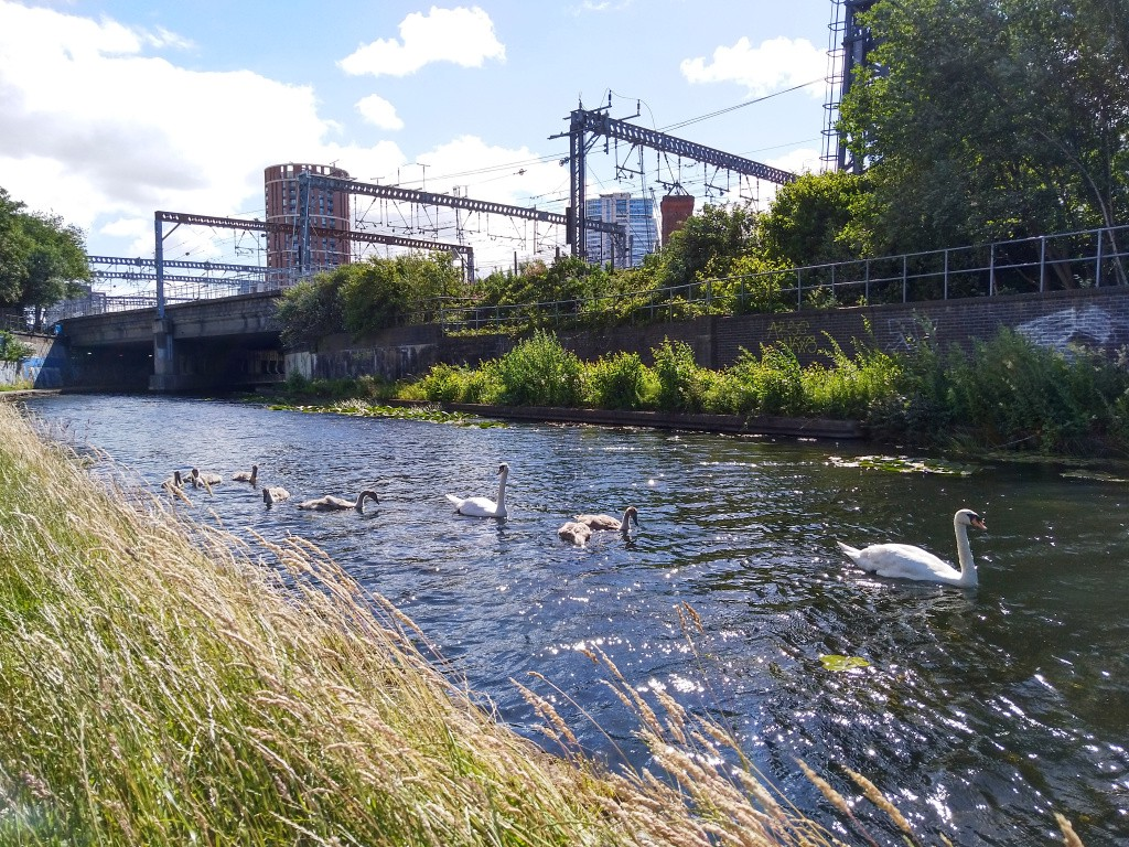 Swans on canal in front of railway line, in far distance, tall buildings