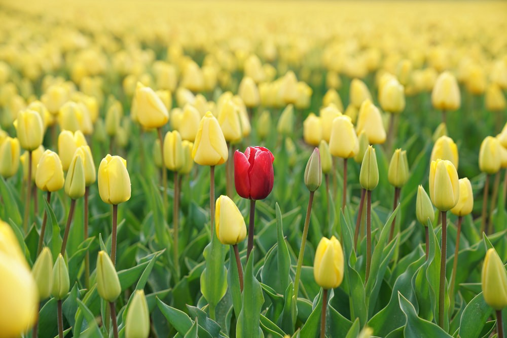 Image of a red flower among yellow flowers