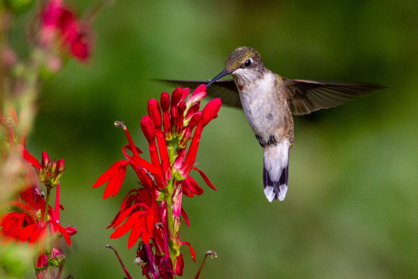 A hummingbird hovering near a red flower
