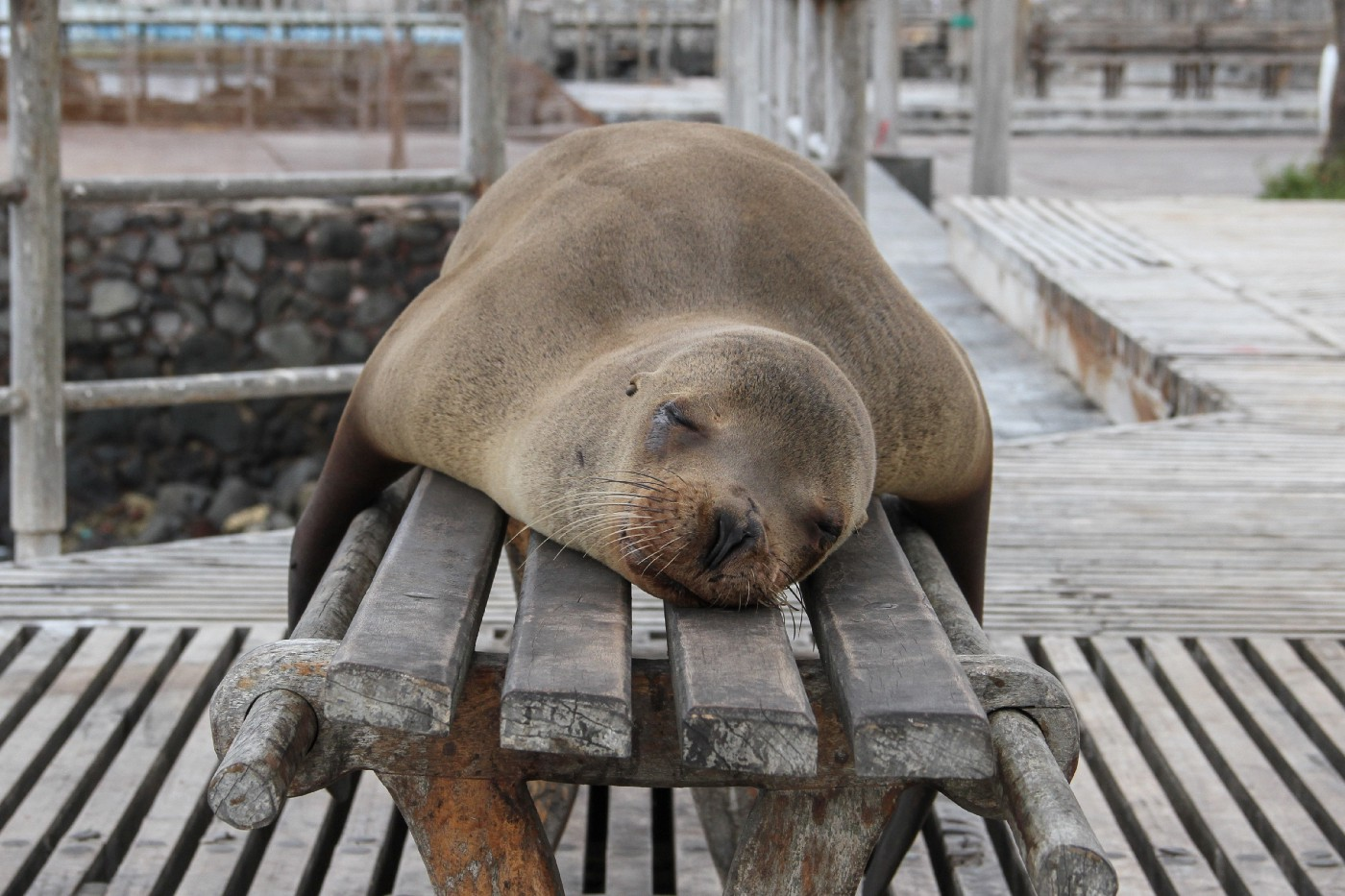 Grey seal sleeping on a wooden bench on a dock.