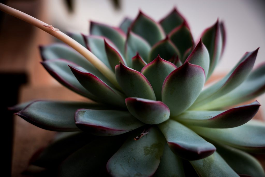 Echeveria at peace. You know they are happy when the tips are pink. Photo by @peaceonlovephoto (IG).
