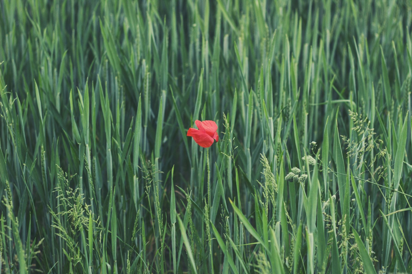 A field of long grass with a single red poppy in the middle of the photo.
