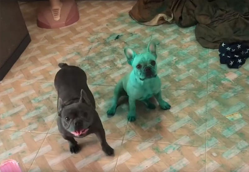 Lady surprised to find two bright green bulldogs in her kitchen.