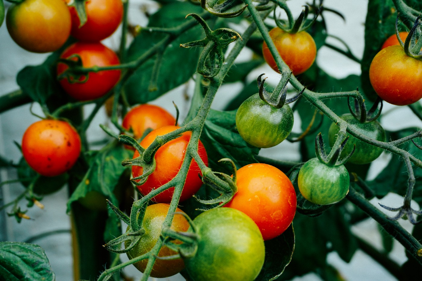 A close up of tomato plant with many green and red tomatoes hanging.