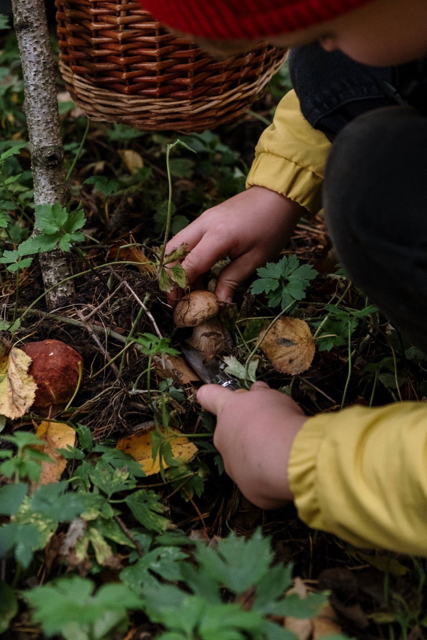 A child with a yellow jacket sleeves and a red knit beanie leans over, picking red and brown mushrooms from the dense forest floor.
