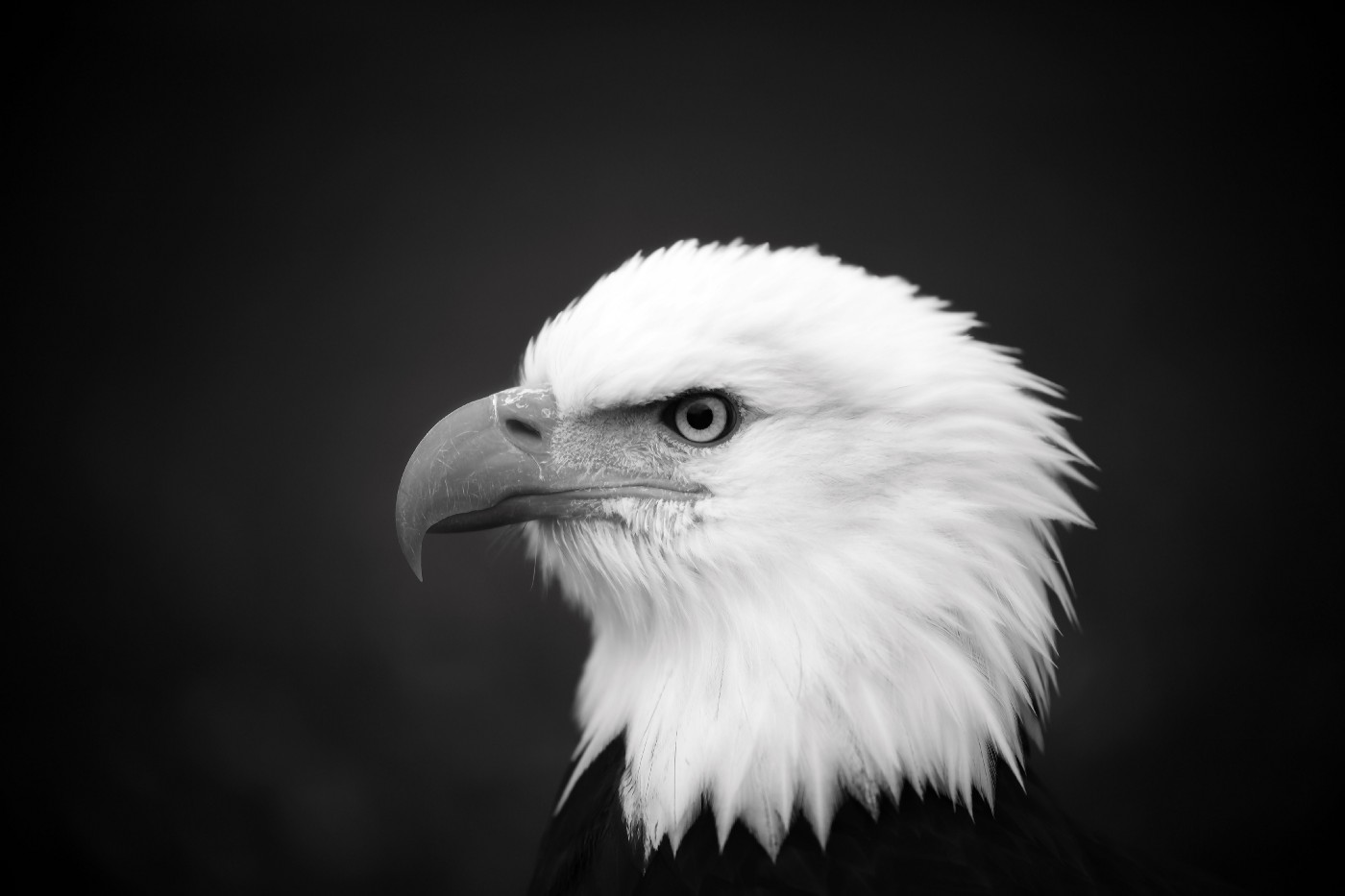 Black and white profile of a bald eagle from shoulders up gazing.