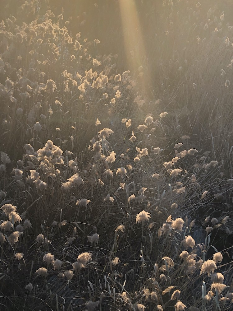 photo by dr mj boyce sun beam in a field of mid Fall flowering
