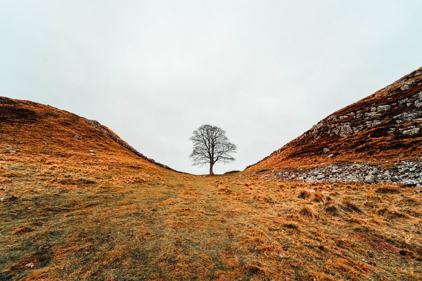 A lone Sycamore tree in the gap between two hills. Sycamore Gap in Northumberland.