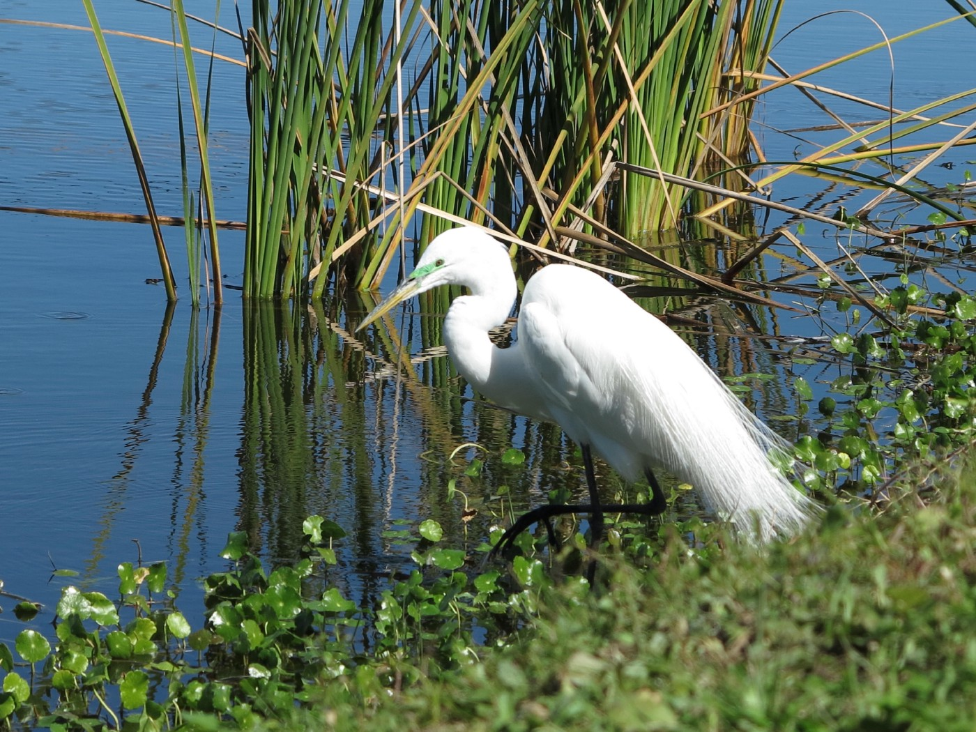 Close up photo of a tall white bird on the edge of a pond