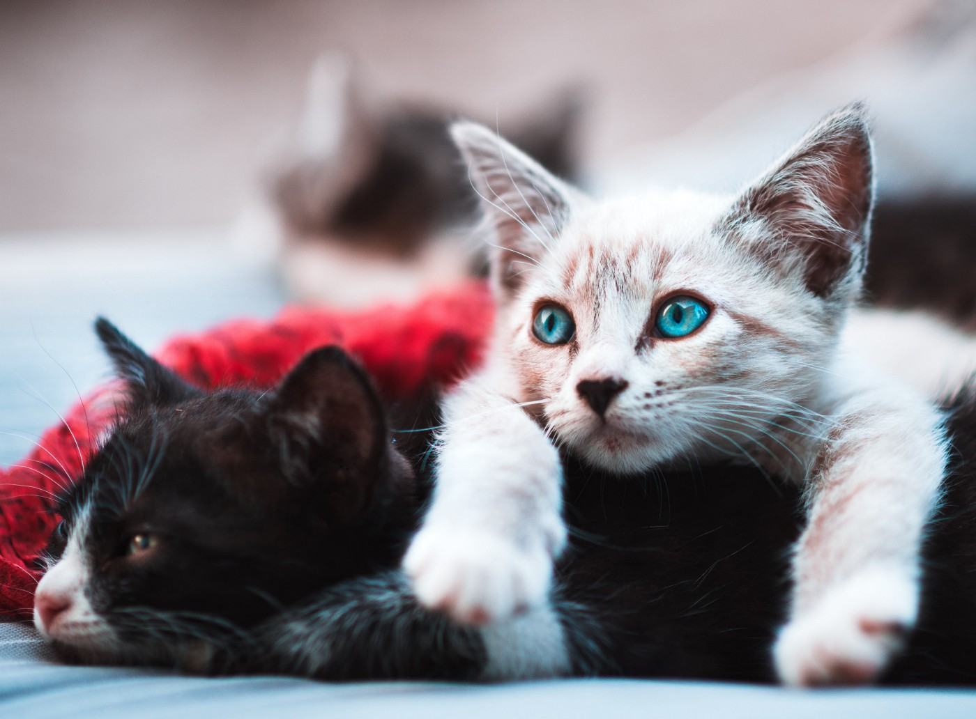 A white-and-tan kitten with bright blue eyes lying on top of a black-and-white kitten on the ground.