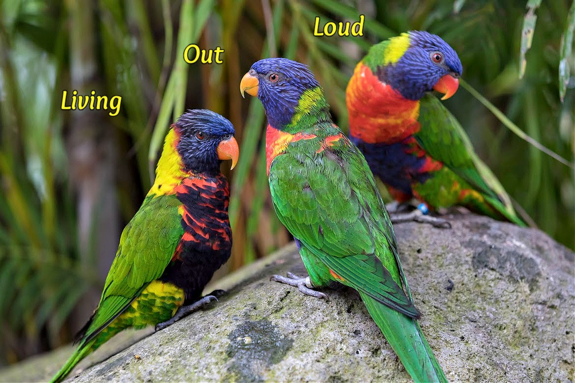 Three colorful parrots—blue heads, green bodies with yellow, red and orange around thir necks.