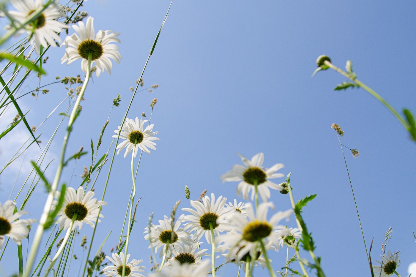 Picture of daisies against a blue sky.