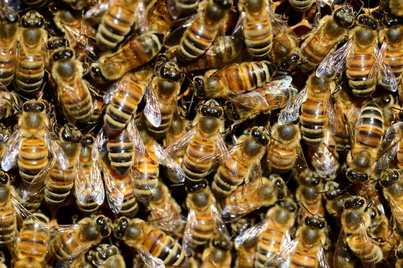 Photo of a mass of luvehoneybees.