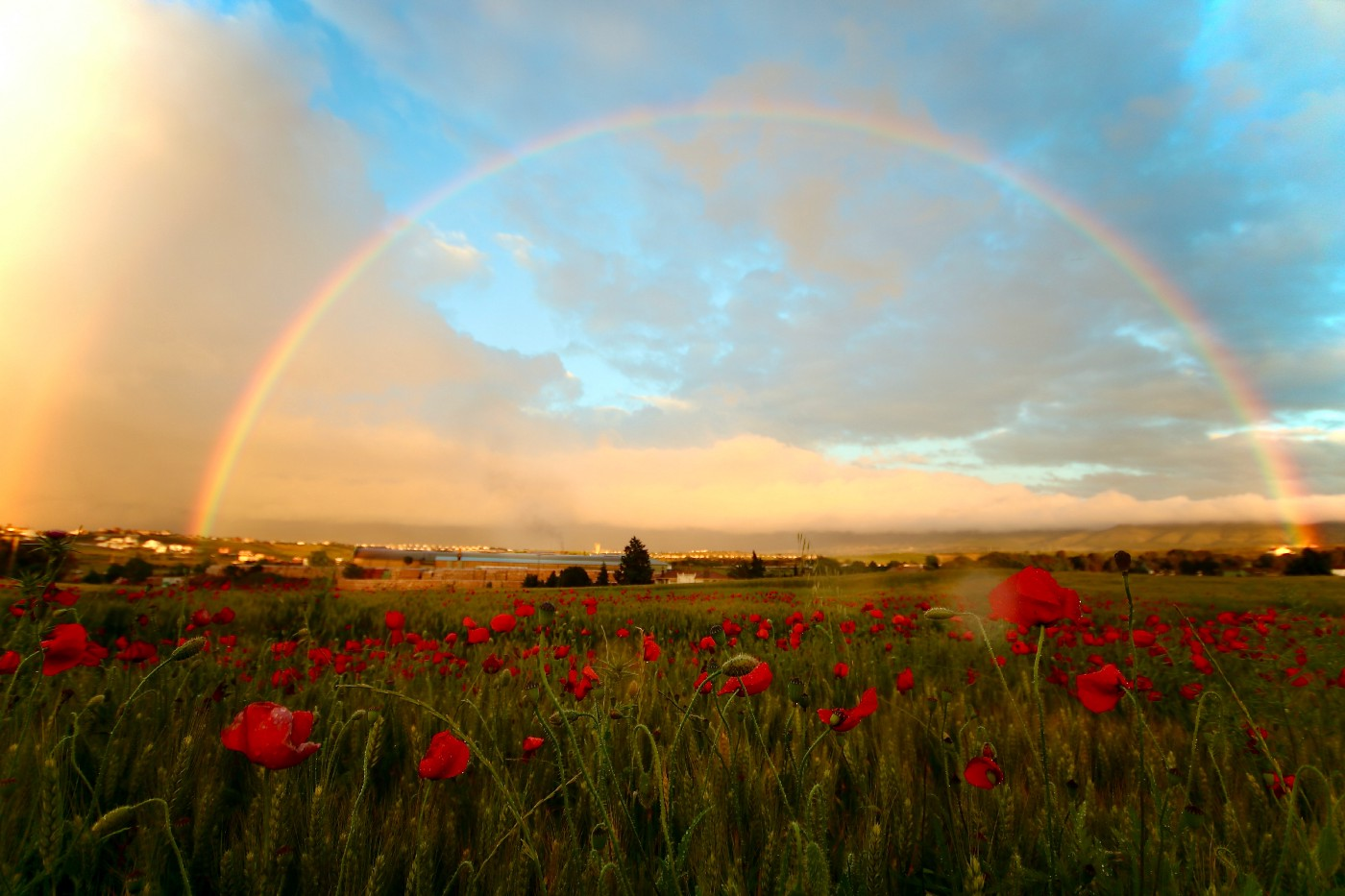 Rainbow over a field of poppies