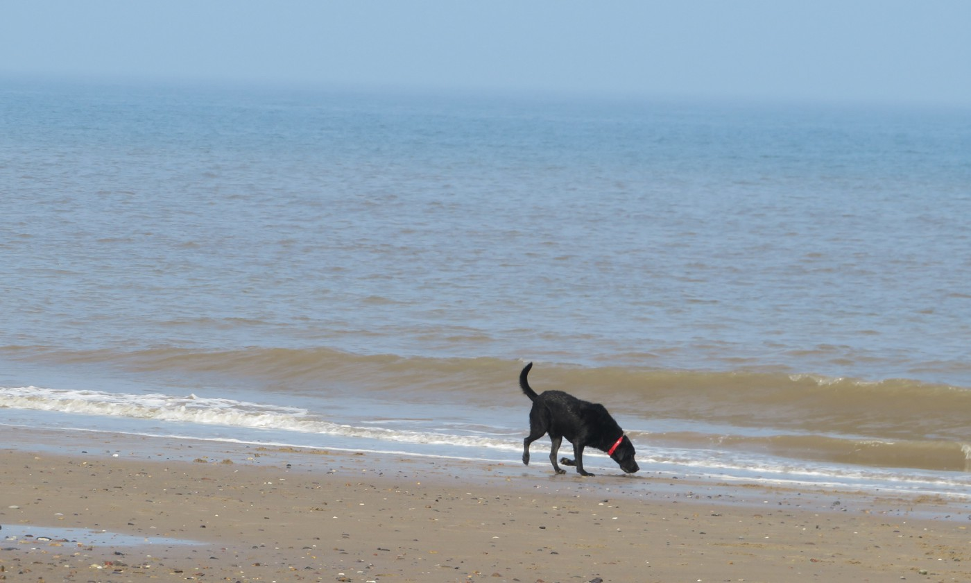 Image of a black Labrador dog sniffing about on the beach near the waters edge