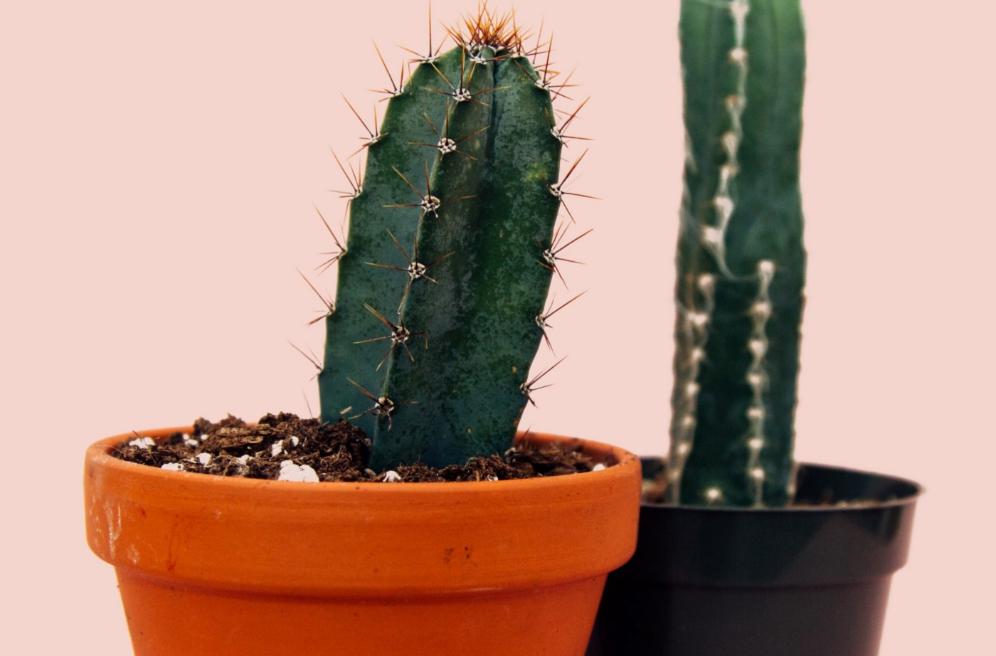 2 different kinds of prickly cactus plants in pots comparing themselves