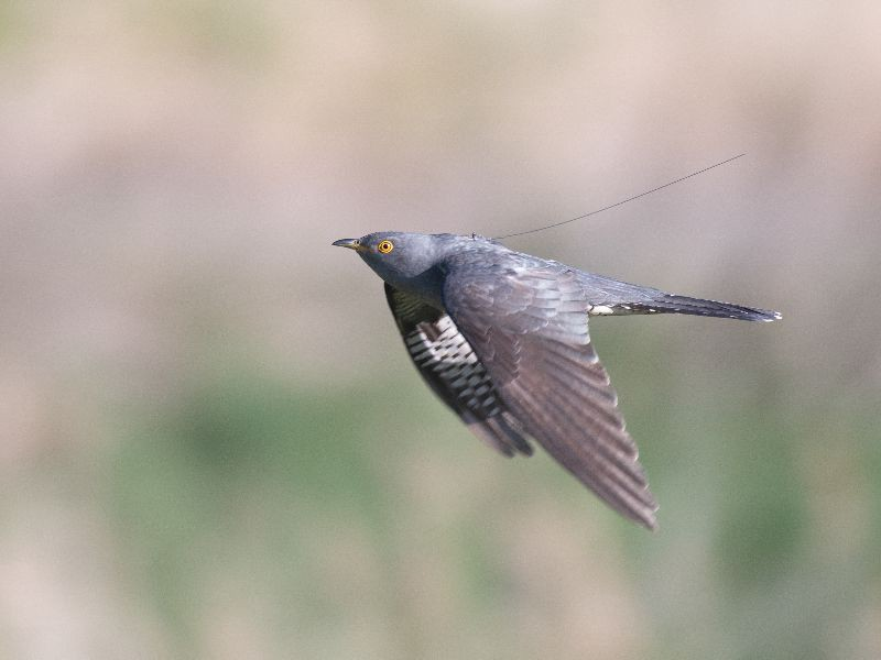 A Cuckoo wearing a backpack whilst flying past the camera