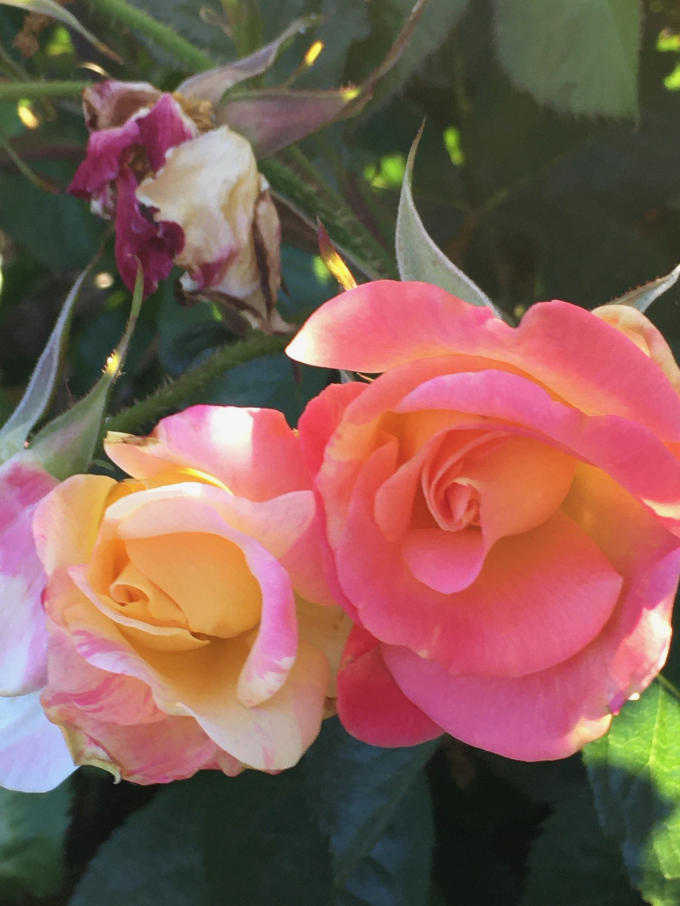 Pink with yellow tinges next to yellow rose.