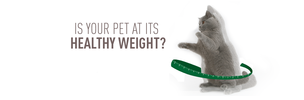 Keep Your Cats Weight In Check Royal Canin Medium