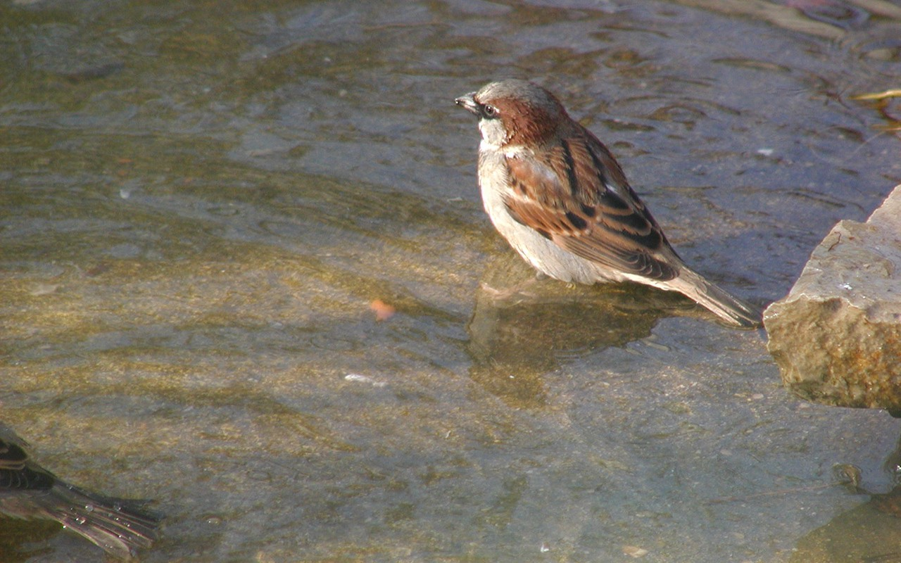 House Sparrow Goes Wading