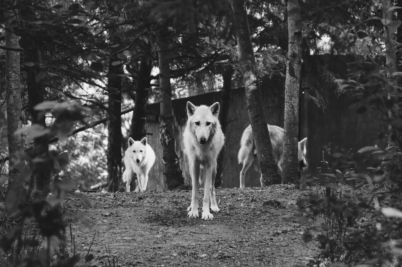 A head white wolf leading the pack facing you from the forest as if threatening to approach.