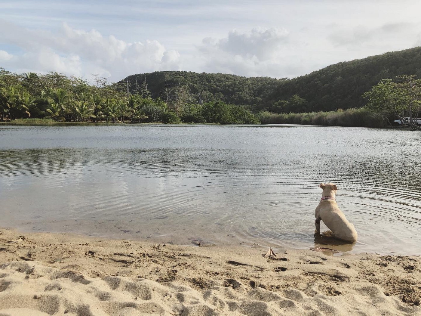 Georgia May, my ash blonde pitbull sitting at the edge of the river, the green mountains of Puerto Rico looming in the background.