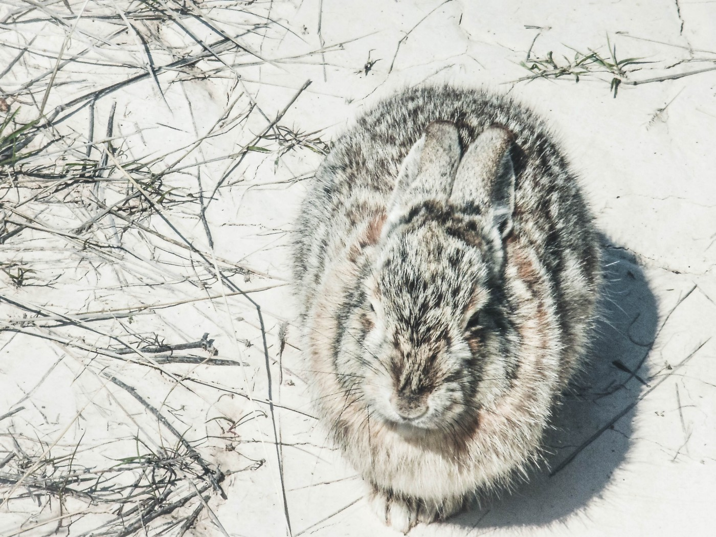Bunny laying curled up in snow.