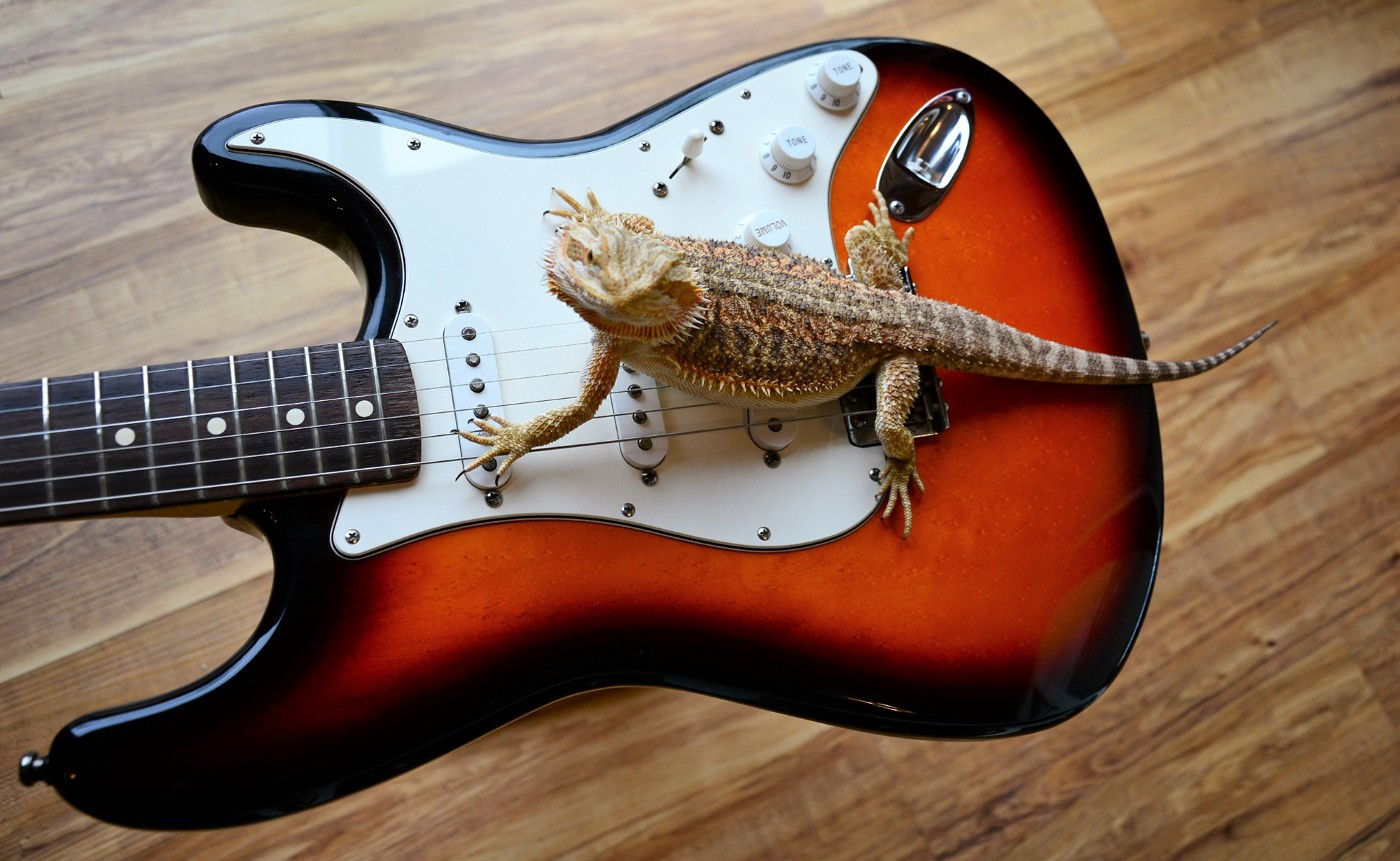 Lizard straddling the strings and pick-ups of a Fender Stratocaster Sunburst solid bodied electric guitar