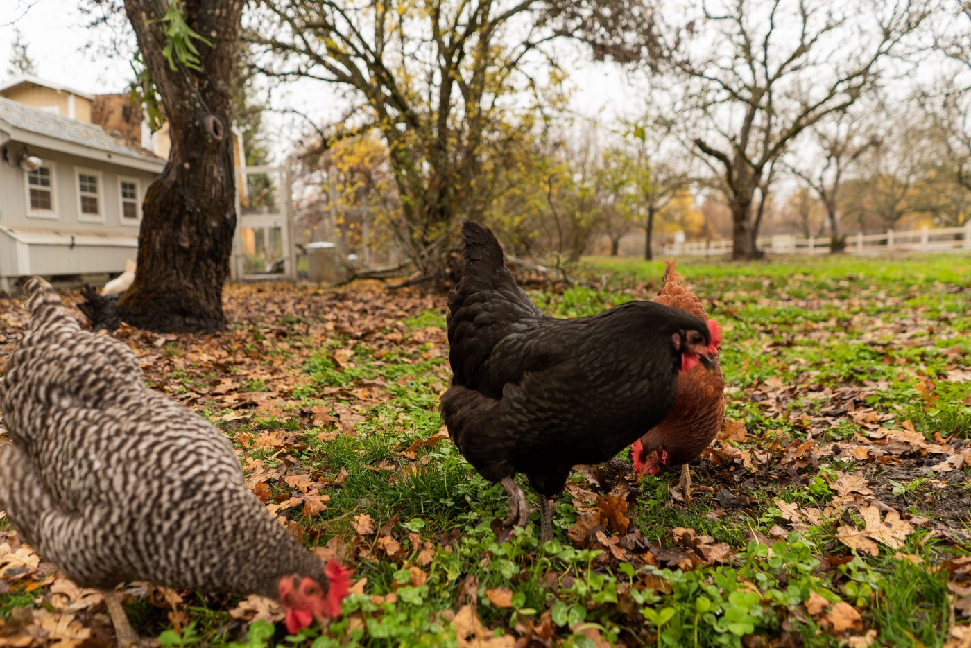 Chickens roaming in a yard in the fall.