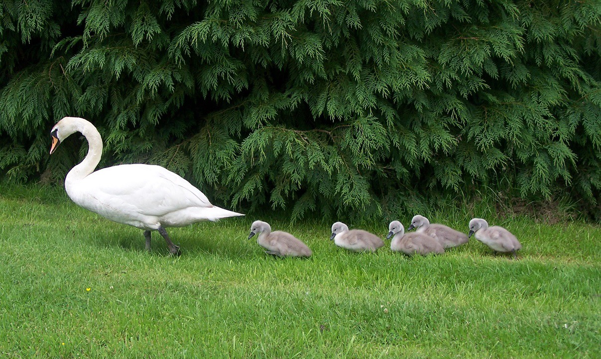Five signets following mother swan