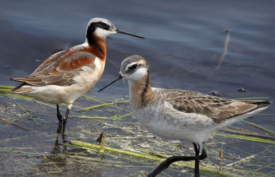 A female and male Wil'son's phalarope standing in a marsh