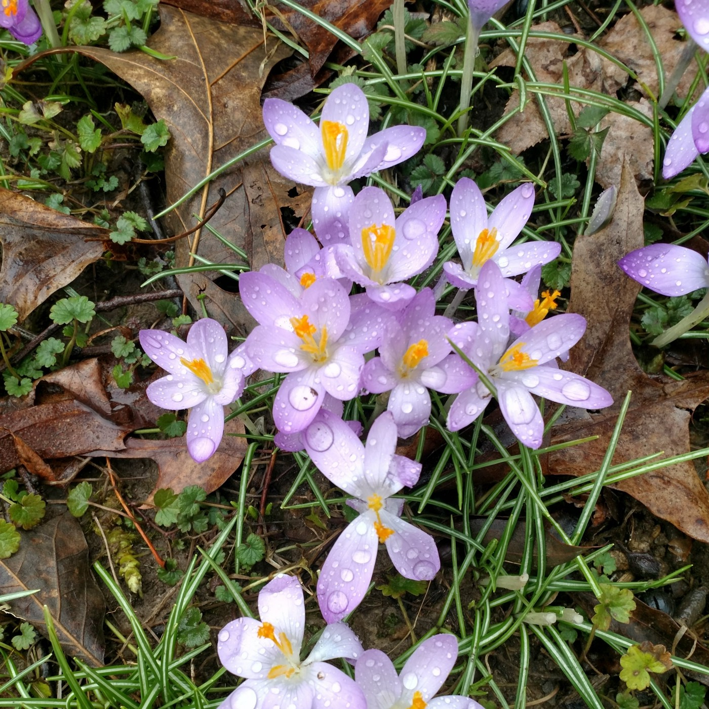 Light purple crocuses are emerging from dead winter leaves after a spring shower.