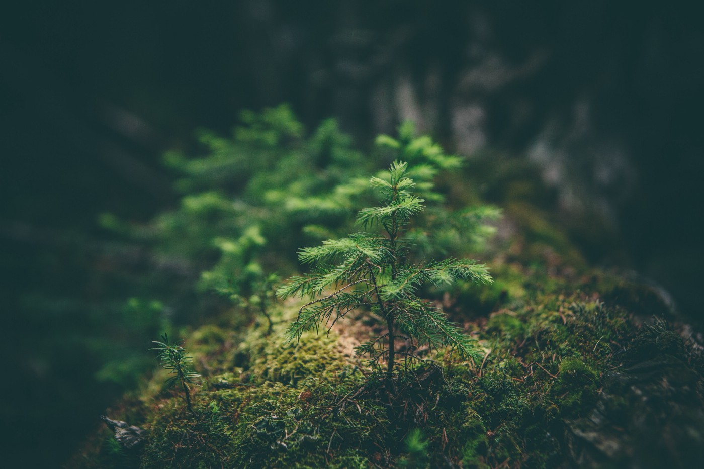 small sapling in mossy forest