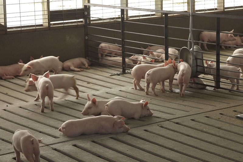 Hog farm with small pigs in confined system. Image is by United Soybean Board.