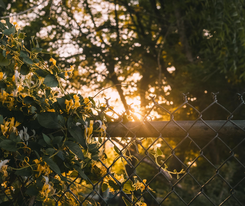 Late afternoon sun shines on honeysuckle wrapped around a chain link fence.