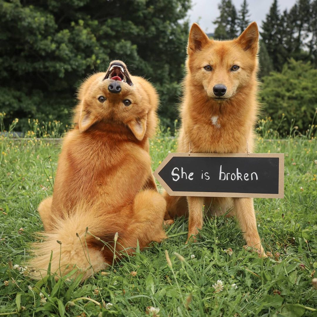 Kiko the Finnish Spitz dog poses for a photo backwards and upside-down while her disapproving sister looks on.