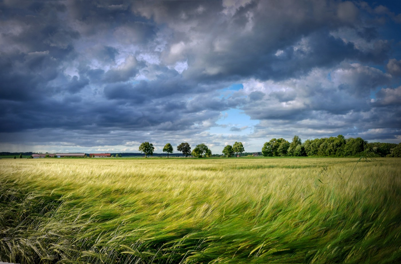 Wind-blown field of green grain under busy cloudy sky with a line of trees in distance.