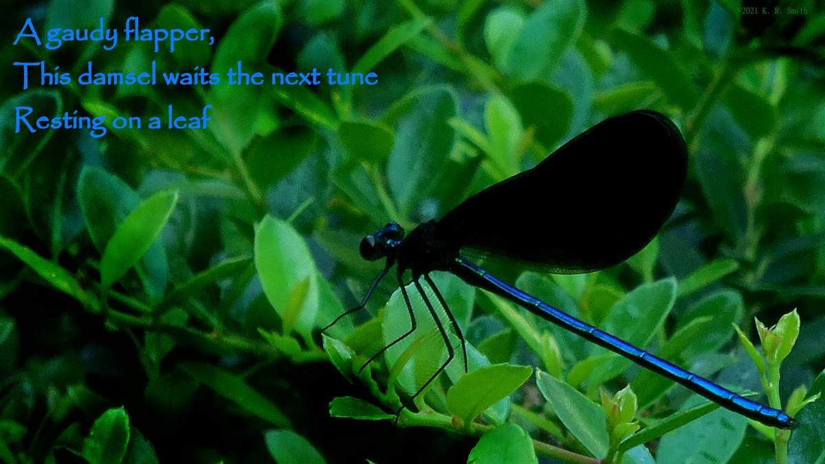 A damselfly, with an iridescent blue body and black wings, rests on a bush.
