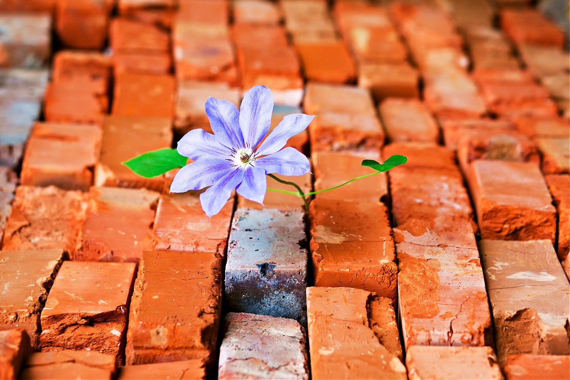 Blue Clematis blossom growing out of red orange bricks