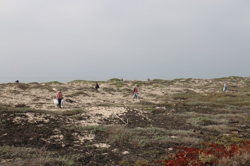 seven volunteers on a sandy beaching searching for trash and weeds