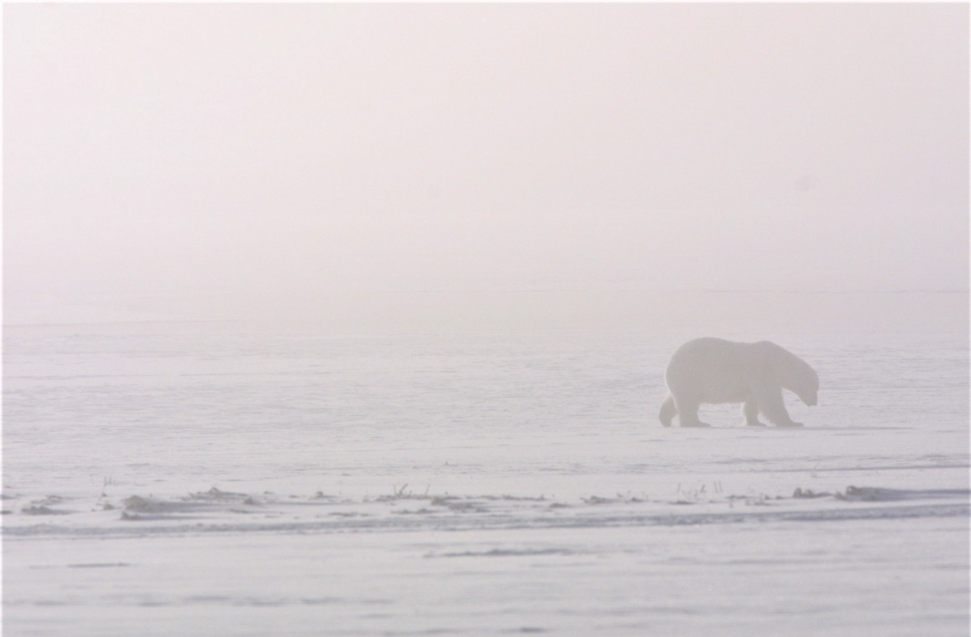 Side silhouette of a polar bear walking in the fog over snow.