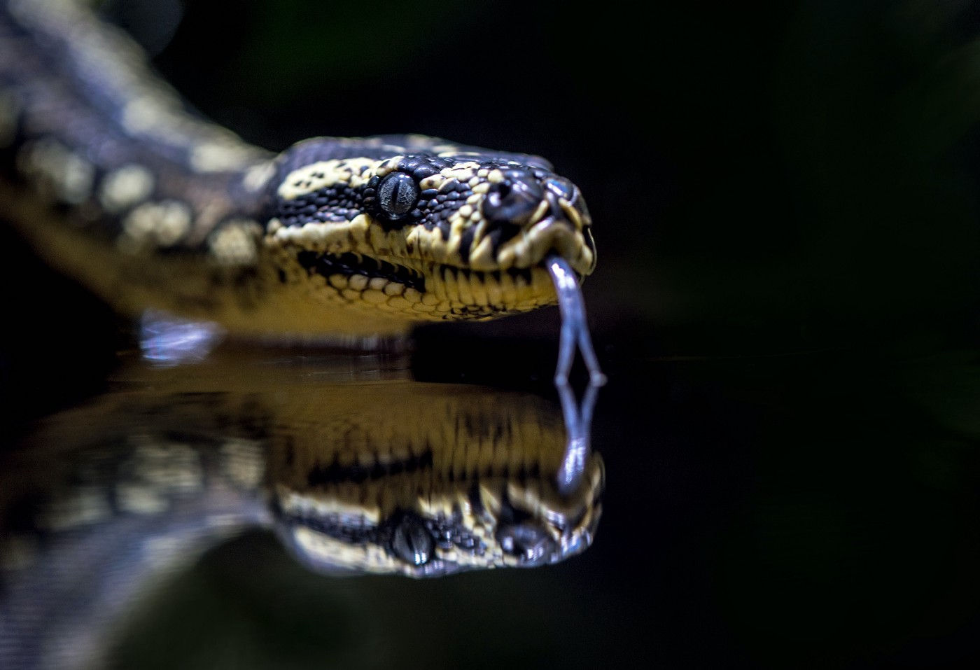 A Jungle carpet python's head reflected in water at the Cairns aquarium, Australia.