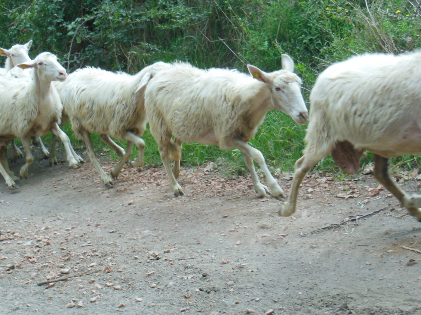 White goats in a line running.