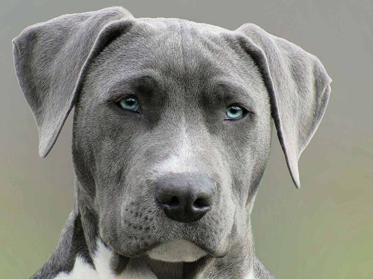 a baby pitbull, grey with blue eyes, looking straight at the camera