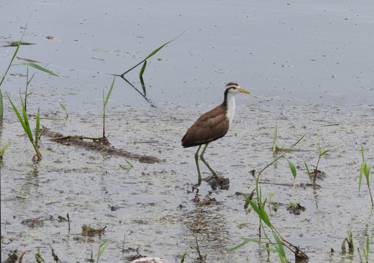 Baby Jacana ponders the mysteries of life on a beach