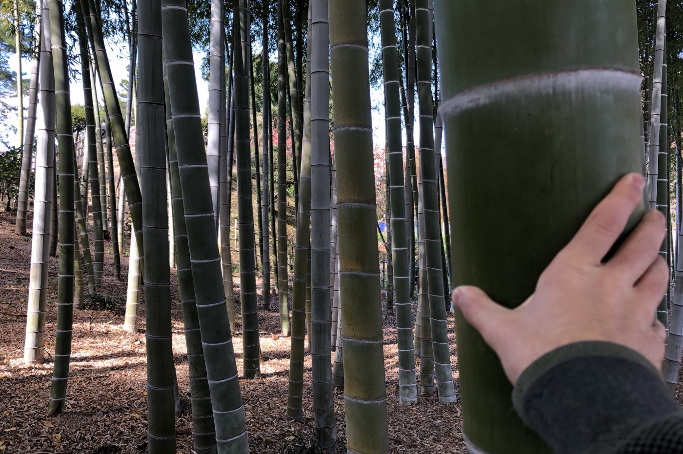 Picture of my hand on a huge bamboo, not being able to cover (read, handle) the bamboo at all.