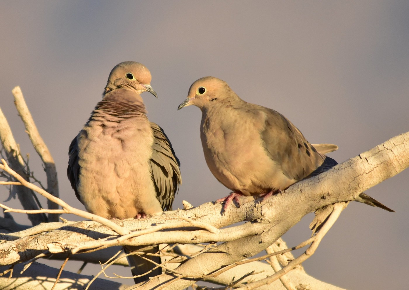 two Mourning doves perched on a tree branch