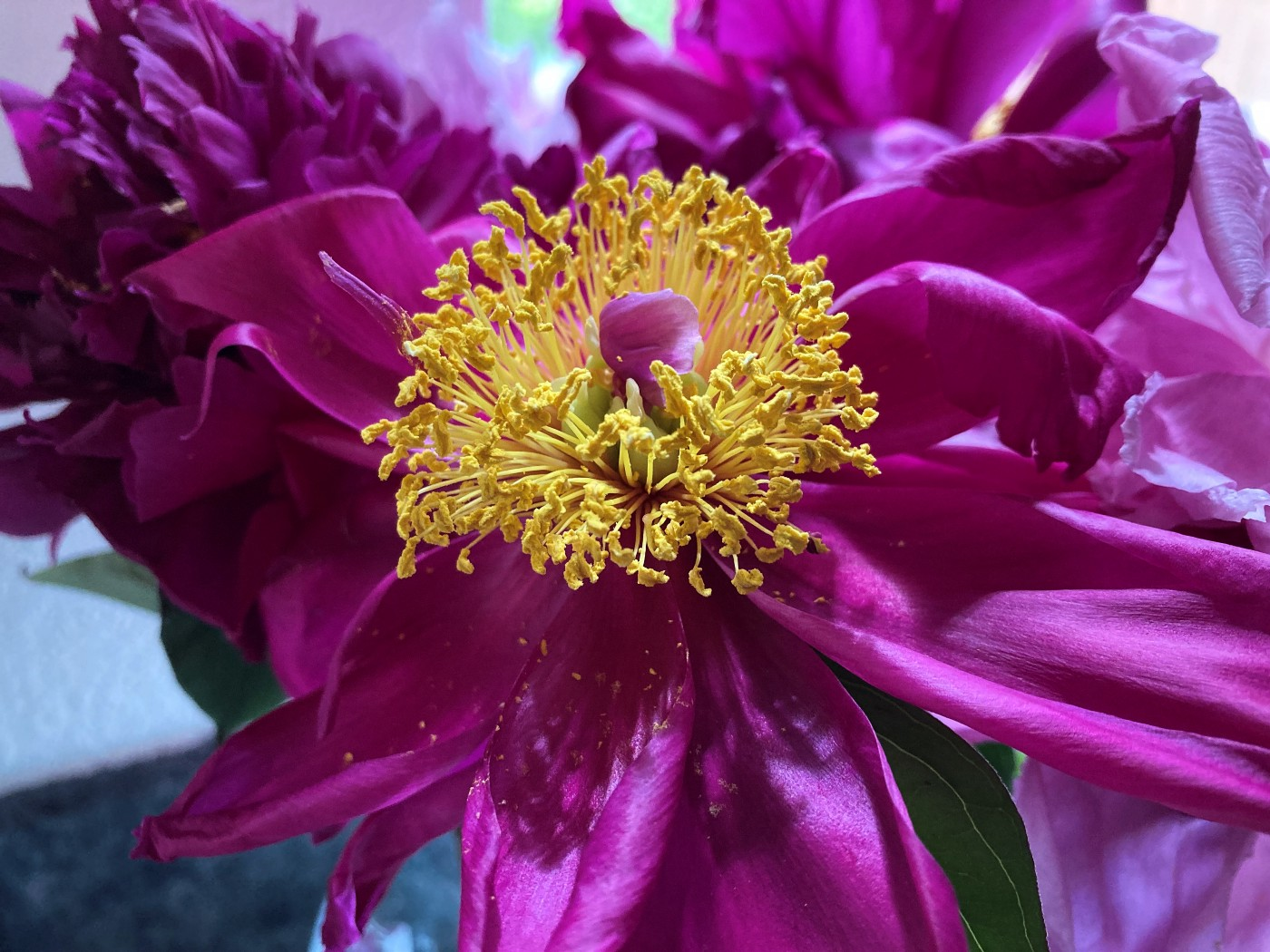 A bright pink peony with a yellow center.