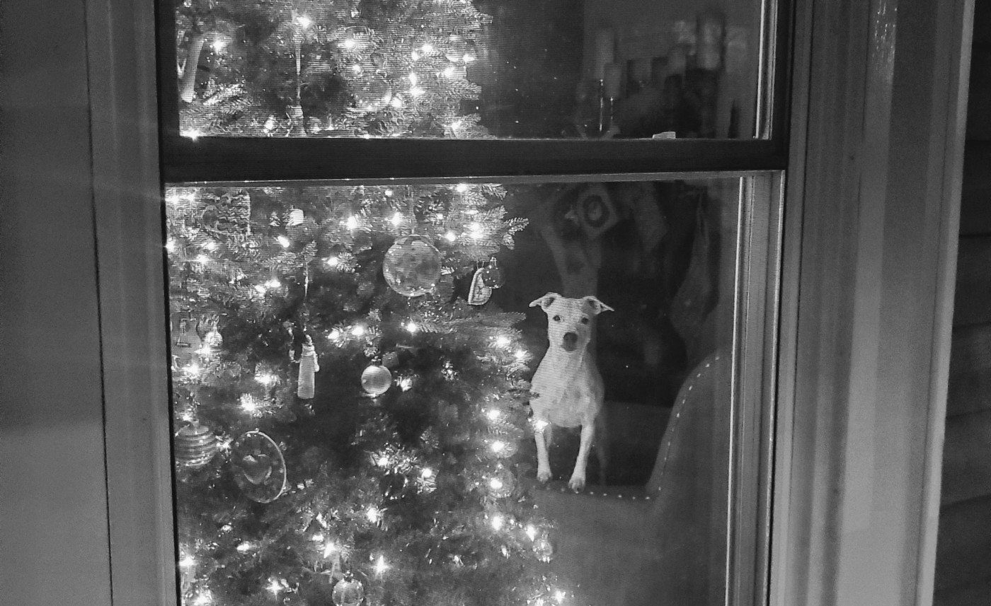 An alert dog perched on a chair next to a Christmas tree looks out the window at viewer.